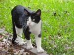 PLEASANT GROVE, AL Found black and white male (unneutered) cat at 604 3rd Terrace, Pleasant Grove AL. He is underfed but doesn't appear to be starving. Very affectionate. He has a small patch of lighter fur on his back that may help distinguish him from the many black and white cats out there! Contact Tia at: (205)534-1939