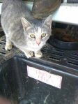 SAMANTHA, AL: Cat Missing from Samantha area. Disappeared during the 1st round of storms in the morning of april 27. This is a younger photo. Please email if found roll43tide@bellsouth.net