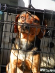 PHIL CAMPBELL: Beagle mix, male in Phil Campbell contact Leanna Reed Clemmons on facebook