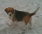 "Contact: John Costello on facebook. female beagle named ""Miley"".  231 & Camp Creek road, St. Clair & Shelby county line , Should be wearing an orange collar."