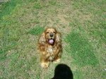 PLEASANT GROVE, AL: English Spaniel found on 5th Ct. Well cared for, being checked by vet today. Contact Dwight Ingram at: (205) 744-5417