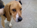 Jacksonville, Alabama: He is part bassett hound, part beagle. He has a red collar (no tag). Very sweet, kind of timid, likes kids and acts like he wants in the house. Found across from Jacksonville high School