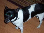Henagar/Pisgah: Found this on craigslist: LOST  Has anyone seen my baby (henagar/pisgah) I live in the Henagar/Pisgah area, I have lost a small Jack Russell dog, white with black spots and on left side a heart shaped black spot, also he has a bobbed tail. I would like any information that would help me find him. comm-2bt7p-2364812954@craigslist.org