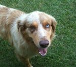 RAGLAND, AL: Found in Ragland, AL after tornado. Male Red Merle Australian Shepherd. Contact info: Joan Garner (256)428-1030