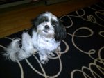 ALBERTA, AL area: 1-yr-old female shih tzu lost in Alberta. Call or text 205-219-1975