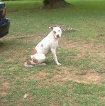 "PLEASANT GROVE, AL area: Do you recognize this dog? ""This dog is in my yard right now...i think ive seen her on here..she  looks like she has had puppies...found Pleasant Grove, Al. contact me at ""wite2tiger@charter.net"""