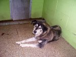 DEKALB COUNTY, AL: Male Alaskan Husky Mix, found on County Road 51 in DeKalb County, Alabama. This baby has the sweetest face. He is shedding his winter coat & would love someone to brush him!! If you are interested in fostering/adopting him, please contact DeKalb County Animal Adoption at 256-304-0474.