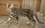 TUSCALOOSA, AL: 2 year old Bengal cat missing in Tuscaloosa. Spayed and microchipped. Contact sakurabengalcats@yahoo.com