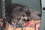 Mentone AL on Craigslist:   Lost Yorkie poo, missing since May 2 she is six years old, gray and has been to the groomer recently. We desperately want her back home. There's a reward! If she was taken we will ask no question just return her and collect the reward. She was lost or taken on County Road 89 near Mentone AL. Please call if you have any information.  713-569-1843