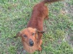 GARDENDALE, FULTONDALE, WARRIOR area: Red, long haired male dog found. Contact Sherri Jones at: (205) 874-0336 OR sjones@wallacejordan.com