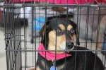 ATHENS, AL: Sky is a black daushund mix with one blue eye. She is a little on the heavy side. She is very, very frightened. Went missing after the March 2 tornado. She is in the Colony section of the Canebrake area in Athens, AL. *UPDATE: Sky has been spotted in the woods at the end of Kennamer Drive.* Contact: (256) 216-1526