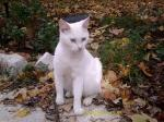 HUNTSVILLE, AL: missing my disabled Kitty Girl, walks with a limp right front arm-shes white with hazel/blue eyes and has the fur shaved on her lower back for med. procedure, small. HUGE reward. 256-417-5022 Gen Williams
