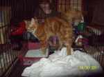 CONCORD, AL: Found: Male, unneutered orange cat.  Very sweet.  No collar or microchip. Contact Shelly at: 205-746-9418 or 205-823-6002