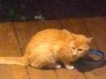 DADEVILLE, AL: Cat found in the Lake Martin area, on the Dadeville side. Not able to get close to it yet. Does not look like wild cat,  just seems scared. Please let me know if anyone has been looking for this cat. Contact Amanda at: amanda.smitherman@charter.net