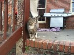 PLEASANT GROVE, AL Young, unaltered male tabby hanging around 13th Street in Pleasant Grove. Friendly, a little thin. Appears to have some minor healed scrapes and scratches, probably from the tornado. Saw him come out of some rubble Monday evening (5-23-11). There isn't a lot left in that area. More info contact: agowdy@ucpbham.com
