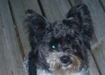 FORESTDALE-ADAMSVILLE, AL area A small black and white dog came in our garage in the Forestdale/Adamsville area when the door was open  on Saturday evening, May 21. No tags or collar. It came up the stairs into the kitchen and made itself at home. I took it to the vet this morning to have it checked for a microchip. It seems to be in good health, is probably between 8-10 months old, has not been microchipped, but has apparently  received veterinary care in the past. Please call  205-798-9705 to identify.