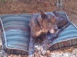 JASPER, AL area: Merle Great Dane found near the country club road in Jasper, AL. Contact Candace at: synathe@gmail.com