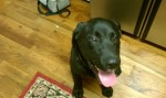 CONCORD, AL: Black lab found in Concord, AL. Approx 7-9 mths, male, cut around his neck that has scabbed over (where a collar would be). Contact Stephanie at: jilliansmom04@gmail.com