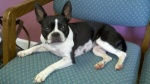 ODENVILLE, AL Female Boston Terrier found 5/6/11 on Highway #174 near Piggly Wiggly in Odenville. Contact: sandracheek@cableone.net