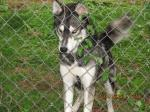 HUNTSVILLE, AL: Husky found on Oakwood Avenue near Chapman Elementary School. No collar; very sweet; playful. Contact Camryn at: camrynduff@yahoo.com