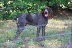 CALHOUN COUNTY, AL: Found: German short hair pointer; leads great on leash, jumps into car; loves to sit on couch; eats only canned food. He was definitely a pet. Good health, sleek coat, has been pampered. Contact Kay at: michaelandkay@yahoo.com