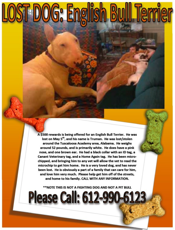 TUSCALOOSA, AL: English Bull Terrier missing from the Tuscaloosa Academy area. Contact (612) 990-6123