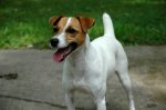 FAYETTE, AL: Parson Jack Russell Terrier missing from Fayette, AL. Last seen June 23. Katie was wearing a tan leather collar with a rabies tag from Gilbert Animal Hospital in Florence, AL. She is a wonderful pet and we miss her terribly. Contact Nancy Bagwell at: (256) 577-8497
