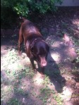 NORTHPORT, AL: We found this female lab walking in the middle of the street in Northport, Alabama. She was not wearing a collar, we put the one in the picture on her. Very sweet loving dog. She is housebroken so we know she belongs to someone. We took her to the vet and she was not microchipped. Our contact info is kerilynprentiss@gmail.com or 205-799-0333.