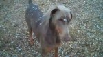 BERRY, AL: Dog lost from Berry K9 Camp; female faun Doberman, will resemble a Weimeraner at first glance. Call (314)374-7612 or (314)308-7115.