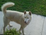PHIL CAMPBELL, AL: White male husky found at Mon Dye Bottoms in Phil Campbell. One brown eye and one blue eye; has a hurt leg. Contact D.Danyelle Bragwell at Cell: 256-856-0603 OR Work: 205-485-8138