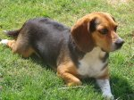 OWENS CROSS ROADS, AL area: Beagle found in Owens Cross Roads area off Taylor Road and Old Hwy 431. If he's your dog or if you know where he belongs please contact Mark at 256-655-8247