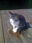 BROOKWOOD/PETERSON, AL area: This is a picture of Bear as a kitten. He is from the Brookwood/Peterson area: He went missing during the tornado that ripped through this area. If anyone has any information on him, please contact me at MxThrsh@aol.com.