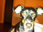 "TUSCALOOSA, AL: Dog lost near Bryant Drive and Queen City Ave in Tuscaloosa, AL. Black and brown dog, about 15-20 lbs, black collar no tags, answers to ""Audrey"". Please email rpregean@gmail.com OR call 504-256-8959"