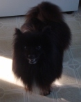 BLOUNT COUNTY, AL: Pomeranian found in Blount County. Call 205-647-8340