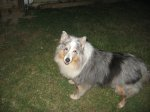 FLORENCE, AL: Blue Merle female sheltie found near Florence on 5-14-11. Message Sarah DeAnne Benedict on Facebook: https://www.facebook.com/profile.php?id=1095970010 OR call 205-620-1946