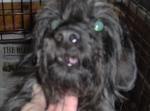 BLOUNT COUNTY, AL: Schnauzer dachshund mix found in Blount County. Call 205-647-8340