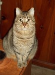 "TUSCALOOSA, AL: Lost our kitty, ""Tiger"" in the tornado aftermath. I saw him but he ran away. Large neutered male-- gray-brown short hair tabby. Lost near 4th Ave E and 17th St E in Forest Lake area in Tuscaloosa. Please call 205.331.3395 if seen."