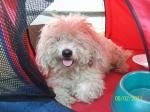 REUNITED! CONCORD, AL: Found: Female, white Bischon or Poodle; ungroomed with slight brown spot above hips (maybe just discoloration from chewing at itself). Very sweet lap dog.