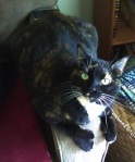 "REUNITED! LOST: Audrey, mostly black calico, polydactyl with ""thumbs"" on her front paws. Lost at Charleston Square Apts at 10th and 27th in Tuscaloosa contact Jaime Johnson on facebook"
