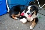 REUNITED! TUSCALOOSA: miniature Australian Shepard is missing. His name is Dexter. He is white and black with brown on his legs, and he has big brown eyes. He has a houndstooth color with a rabies tag on it. He is very shy.