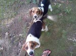 REUNITED! LAKEVIEW/BUCKSVILLE/MCCALLA: Two beagle puppies, male and female found in the Lakeview/Bucksville/McCalla area near the Tannehill General Gas Station.