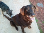 REUNITED! Found older male chocolate lab. Contact Sandra