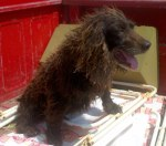 REUNITED! Boykin Spaniel found in the Tillison Bend/Glencoe area, near Gadsden, AL. She is thin, matted, scared and believed to be a pet lost in the storms. Contact Shannon at: rhettandkody@bellsouth.net