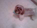 REUNITED! CULLMAN, AL: Charlie is a 5 year old Shih Tzu missing from 5th street in Cullman near Cullman High School. He was last seen before the storm Wednesday afternoon. He was wearing a red collar and has an under bite. If you have any information please message me or call (256)347-7884.