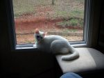 REUNITED! TUSCALOOSA: Near 18th st east in Tuscaloosa. She is solid white with one green eye and one blue eye. She was skittish to begin with may answer to Gerty or Cleo if you find her email me at tigluena@gmail.com