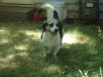 FOUND HUNTSVILLE, AL: Female Beagle found in Huntsville along with terrier mix. She is also house trained and super sweet. Contact Audrey Sullivan: 423-227-3589