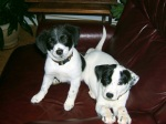 "NEW FUREVER HOME! These sweet puppies were found on 15th St. in Tuscaloosa just after the tornado on 4/27. Although they were never claimed by anyone, we're happy to report that they have been adopted into a good home! According to Carolyn, ""'The girls' went to twin 10-year old boys and seem very happy. I have a lump in my throat, but everything worked out well."""