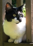 REUNITED! TUSCALOOSA, AL: Spayed black and white cat lost from the Cedar Crest area of Tuscaloosa, AL. Kitkat is approximately 11 years old. Last seen June 5. Contact Candy Crawford.