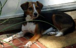 NEW FUREVER HOME! PELL CITY, AL This young female beagle mix was found after the Tornado in Pell City. She is not micro-chipped and is currently living with a foster family in Birmingham. Please contact Jennifer at al@sosbeagles.org for more information.