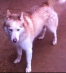 REUNITED! HARVEST, AL area: lost female husky from the Anderson Hills subdivision. Name is Zoie. She should have a collar but may not have a tag. She has two blue eyes and a streaks of red in her coat. She is a little stand off-ish but very sweet otherwise. Contact Jason at: 256.684.5335 or copey13@gmail.com
